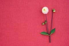 Vit dahlia på ljus rosa kanfas med kopieringsutrymme arkivbild