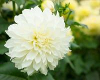 Vit dahliablomma i natur Fotografering för Bildbyråer