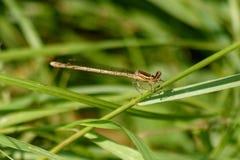 Vit damselfly som sätta sig på en stam av gräs arkivfoto
