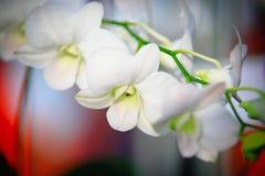 Vit Dendrobiumorkidé Royaltyfri Fotografi