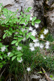 Vit dianthus Royaltyfria Bilder