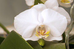 Vit Doritaenopsis orkidéblomma Royaltyfri Bild
