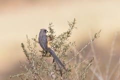 Vit drog tillbaka Mousebird som sätta sig i buske Fotografering för Bildbyråer