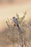 Vit drog tillbaka Mousebird som sätta sig i buske Royaltyfria Bilder