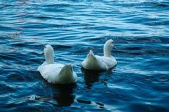Vit duckar simning i sjön royaltyfria bilder