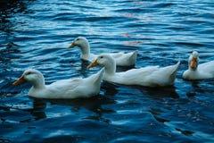 Vit duckar simning i sjön royaltyfri fotografi