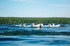 Vit duckar simning i sjön royaltyfri bild