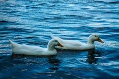 Vit duckar simning i sjön fotografering för bildbyråer