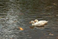 Vit duckar simning i sjön Royaltyfria Foton