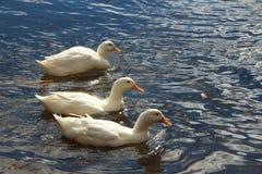 Vit duckar simning i sjön Arkivfoton