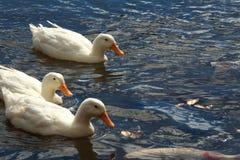 Vit duckar simning i sjön Arkivbild
