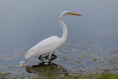 vit egret Royaltyfri Foto