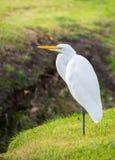 vit egret Arkivbilder