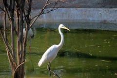 vit egret Royaltyfria Foton