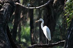 vit egret Arkivfoto