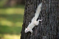 Vit ekorre på ett träd Royaltyfria Foton
