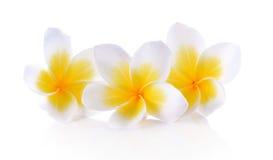 Vit elegant vit bakgrund för Plumeria Royaltyfria Bilder