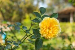 Vit engelska för rosa färger och steg i trädgården Royaltyfri Foto