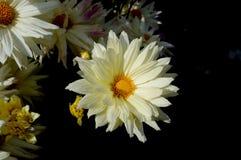 Vit enkel blomma royaltyfri bild