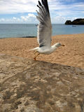 Vit europeisk argentatus för larus för fågel för sillfiskmås som är klar att flyga arkivfoto