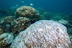 Vit färg av hårda koraller är att bleka för korall Globalt avmaska är Arkivfoto