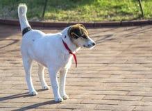 Vit färg för hund Royaltyfria Bilder