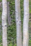 Vit färglodlinje av att skälva aspar arkivfoton