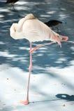 Vit färgsvan eller hägerfågel Arkivbild