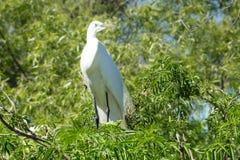 Vit fågel i ett träd nära vattnet Arkivfoto