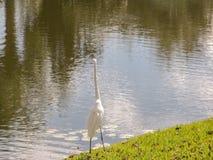 Vit fågel vid strandkanten Royaltyfri Fotografi
