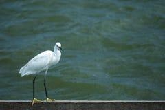 Vit fågelställning vid floden arkivfoton