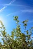 Vit för Cornusalba dekorativ trädgårds- trädtorva med små sidor royaltyfria bilder
