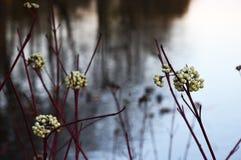 Vit för den gemensamma snowberryen bär frukt på nedgången royaltyfri foto