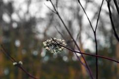 Vit för den gemensamma snowberryen bär frukt på nedgången Royaltyfri Bild