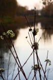 Vit för den gemensamma snowberryen bär frukt på nedgången royaltyfria bilder