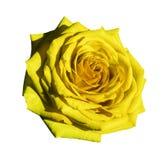 Vit för gulingrosblomman isolerade bakgrund med den snabba banan Closeup inga skuggor Royaltyfria Foton