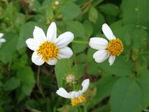 Vit för lös blomma royaltyfri bild