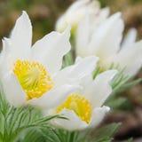 Vit för Pasque blomma royaltyfri fotografi