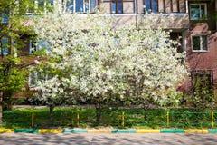 Vit för vårblomningkörsbär Arkivbild