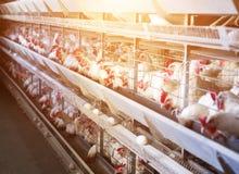 Vit feg produktion och äggproduktion, livsmedelsindustri, sol, fågelhus royaltyfri bild