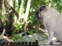 Vit fet gullig älskvärd mopshundprofil i gräsplanträdgård Royaltyfri Bild