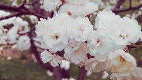 Vit filial för körsbärsröd blomning i vår Arkivfoton