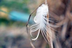 Vit fjäder på gräsblomman Arkivbild