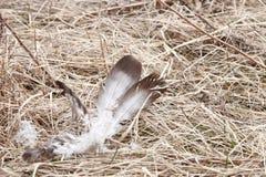 Vit fjäder som lägger i dött gräs Royaltyfri Fotografi
