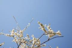 Vit fjädrar blomningen royaltyfria foton