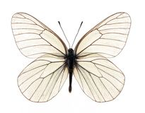Vit fjäril arkivfoto