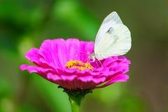 Vit fjäril från sida på blommablomningen Royaltyfri Fotografi