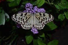 Vit fjäril (idéleuconoe) som kontrollerar en blomma Fotografering för Bildbyråer