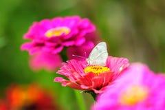Vit fjäril med dahliablommor Fotografering för Bildbyråer