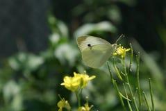 Vit fjäril på den gula blomman Royaltyfri Foto
